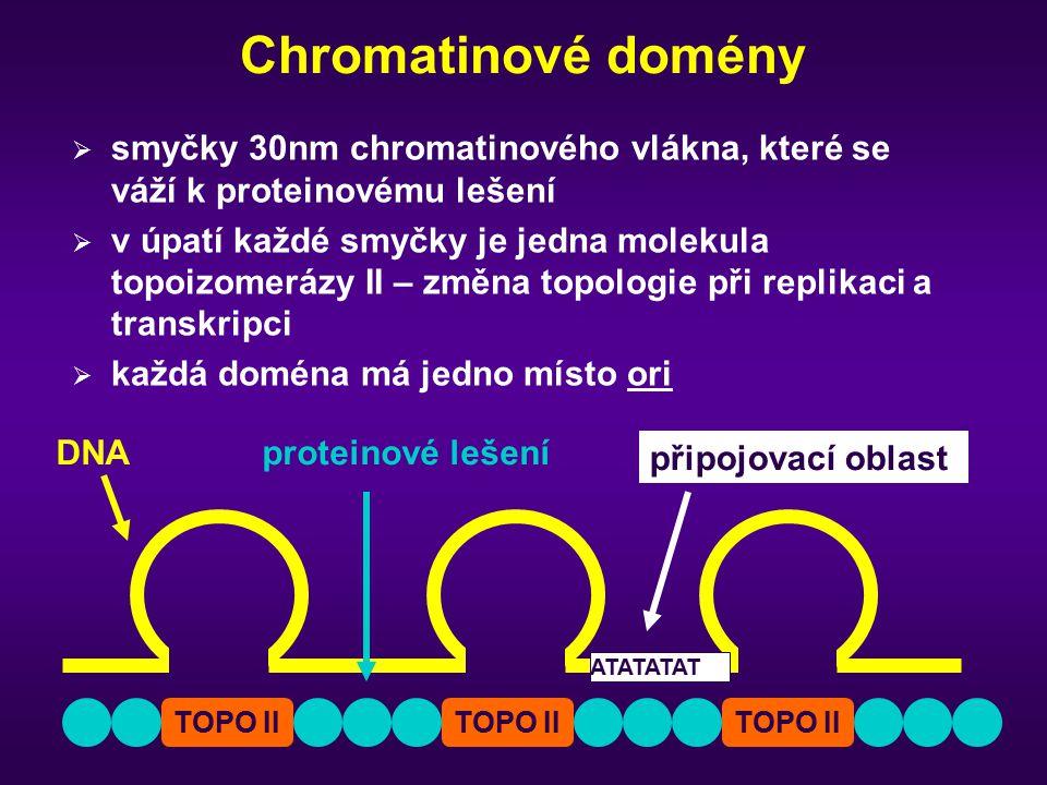 Chromatinové domény  smyčky 30nm chromatinového vlákna, které se váží k proteinovému lešení  v úpatí každé smyčky je jedna molekula topoizomerázy II – změna topologie při replikaci a transkripci  každá doména má jedno místo ori TOPO II DNAproteinové lešení připojovací oblast ATATATAT
