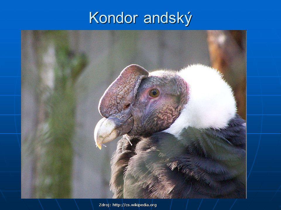 Kondor andský Zdroj: http://cs.wikipedia.org