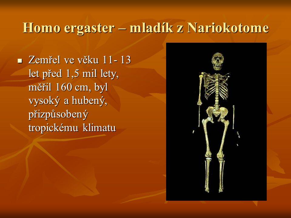 Homo ergaster – mladík z Nariokotome Zemřel ve věku 11- 13 let před 1,5 mil lety, měřil 160 cm, byl vysoký a hubený, přizpůsobený tropickému klimatu Zemřel ve věku 11- 13 let před 1,5 mil lety, měřil 160 cm, byl vysoký a hubený, přizpůsobený tropickému klimatu