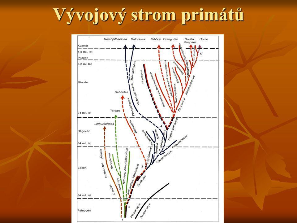 Australopitecíni Nejpozději před 5 mil let dochází k oddělení předků dnešních lidoopů a člověka Nejpozději před 5 mil let dochází k oddělení předků dnešních lidoopů a člověka Z východní Afriky pocházejí nálezy prvních bipedních hominidů z okruhu australopitéků Z východní Afriky pocházejí nálezy prvních bipedních hominidů z okruhu australopitéků Kromě chůze po dvou mají znaky lidoopů – např.