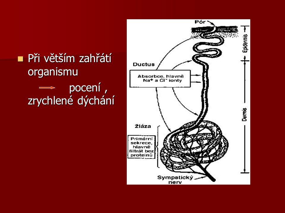 Při větším zahřátí organismu Při větším zahřátí organismu pocení, zrychlené dýchání pocení, zrychlené dýchání