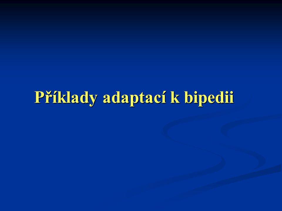 Příklady adaptací k bipedii