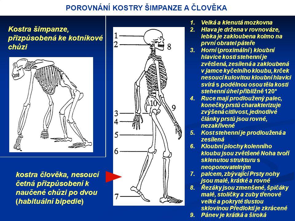 POROVNÁNÍ KOSTRY ŠIMPANZE A ČLOVĚKA Kostra šimpanze, přizpůsobená ke kotníkové chůzi kostra člověka, nesoucí četná přizpůsobení k naučené chůzi po dvo
