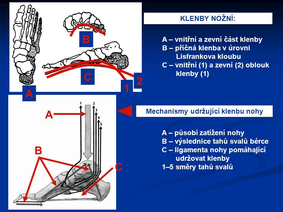A B C A – vnitřní a zevní část klenby B – příčná klenba v úrovni Lisfrankova kloubu C – vnitřní (1) a zevní (2) oblouk klenby (1) KLENBY NOŽNÍ: Mechan