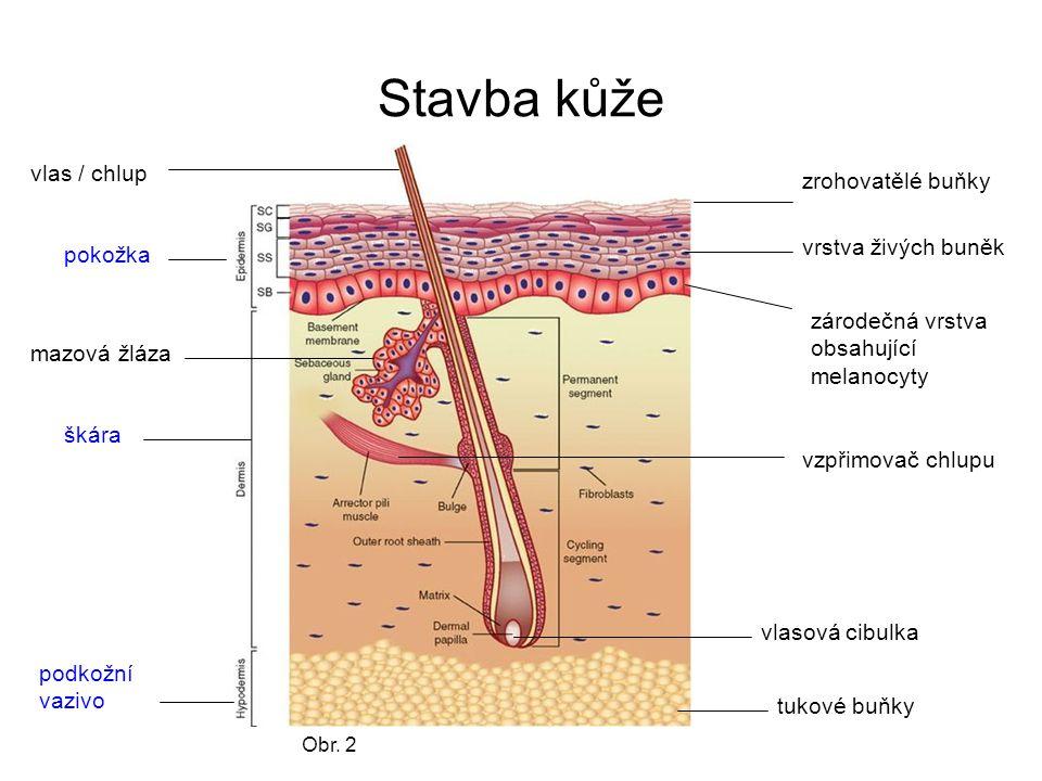Stavba kůže pokožka škára podkožní vazivo zrohovatělé buňky vrstva živých buněk zárodečná vrstva obsahující melanocyty vlas / chlup vlasová cibulka vz