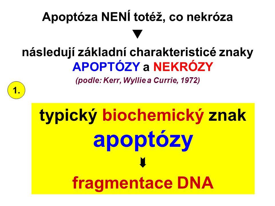 Apoptóza NENÍ totéž, co nekróza  následují základní charakteristicé znaky APOPTÓZY a NEKRÓZY (podle: Kerr, Wyllie a Currie, 1972) typický biochemický