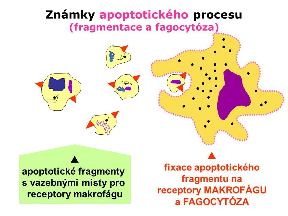  apoptotické fragmentys vazebnými místy pro receptory makrofágu  fixace apoptotického fragmentu na receptory MAKROFÁGU a FAGOCYTÓZA Známky apoptotic