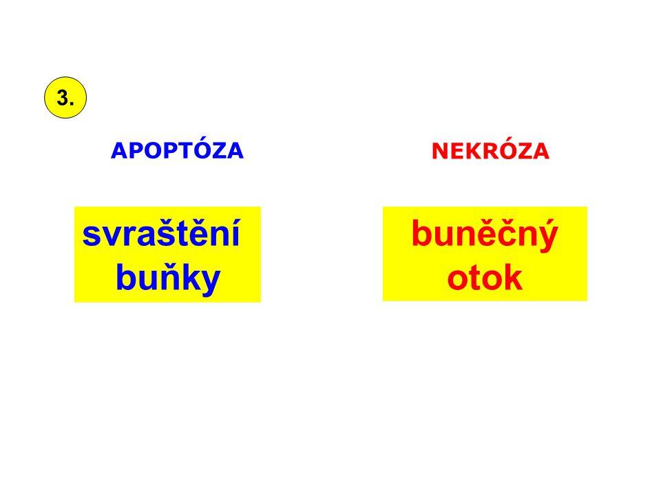 svraštění buňky buněčný otok APOPTÓZA NEKRÓZA 3.