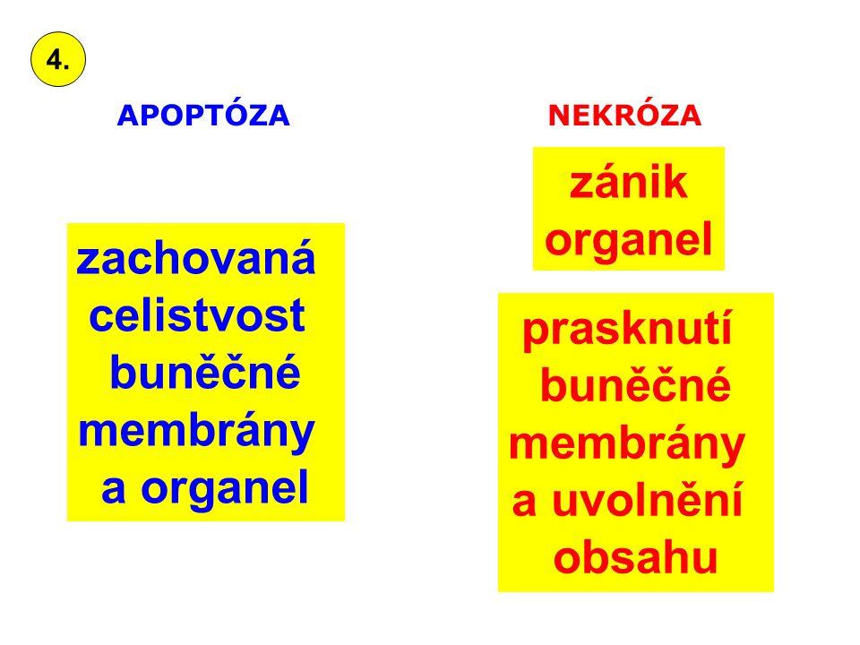 zachovaná celistvost buněčné membrány a organel zánik organel prasknutí buněčné membrány a uvolnění obsahu APOPTÓZANEKRÓZA 4.