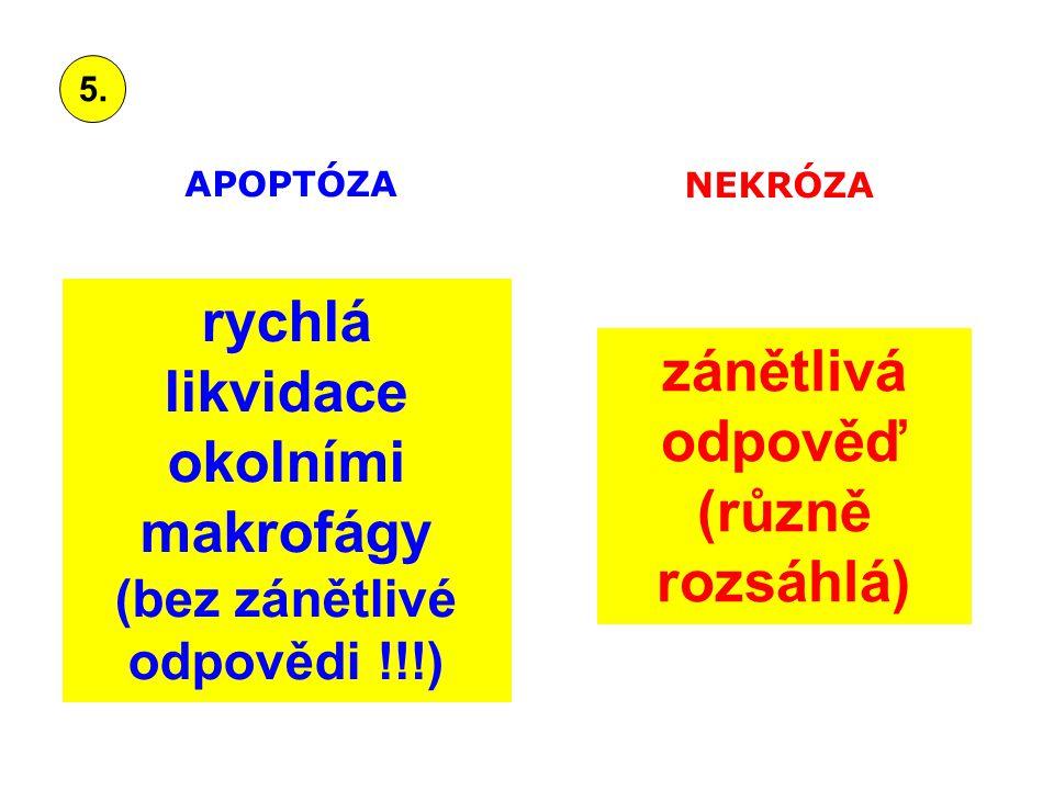 rychlá likvidace okolními makrofágy (bez zánětlivé odpovědi !!!) zánětlivá odpověď (různě rozsáhlá) APOPTÓZA NEKRÓZA 5.