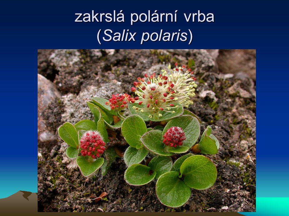zakrslá polární vrba (Salix polaris)