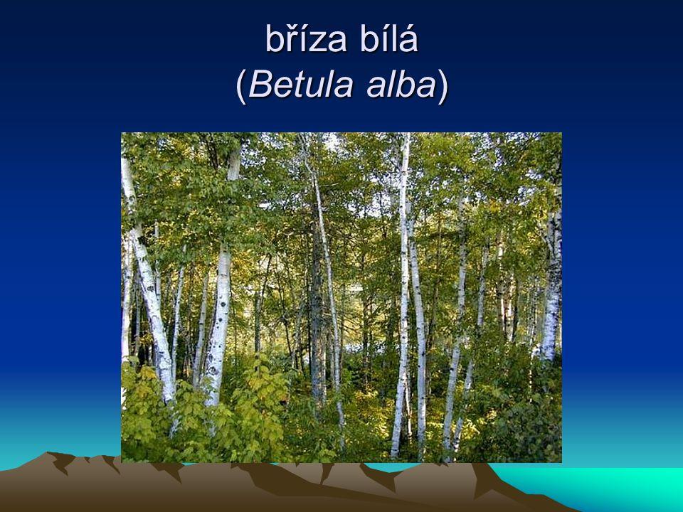 bříza bílá (Betula alba)