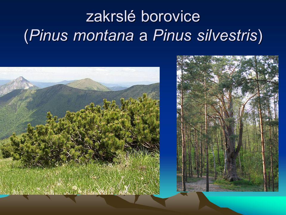 zakrslé borovice (Pinus montana a Pinus silvestris)