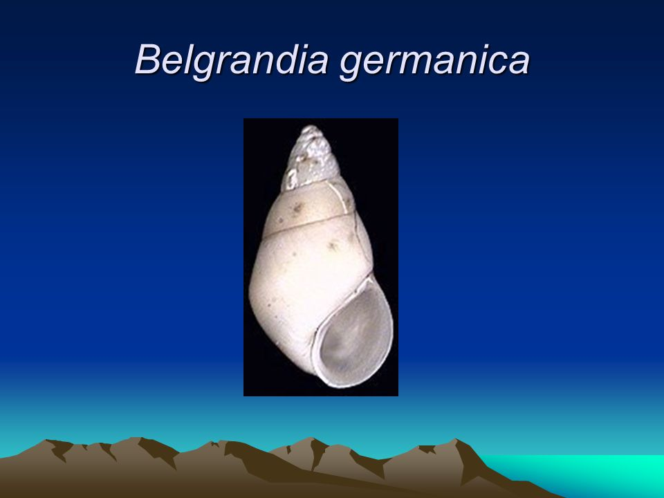Belgrandia germanica