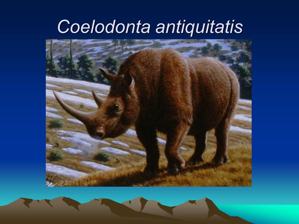 Coelodonta antiquitatis