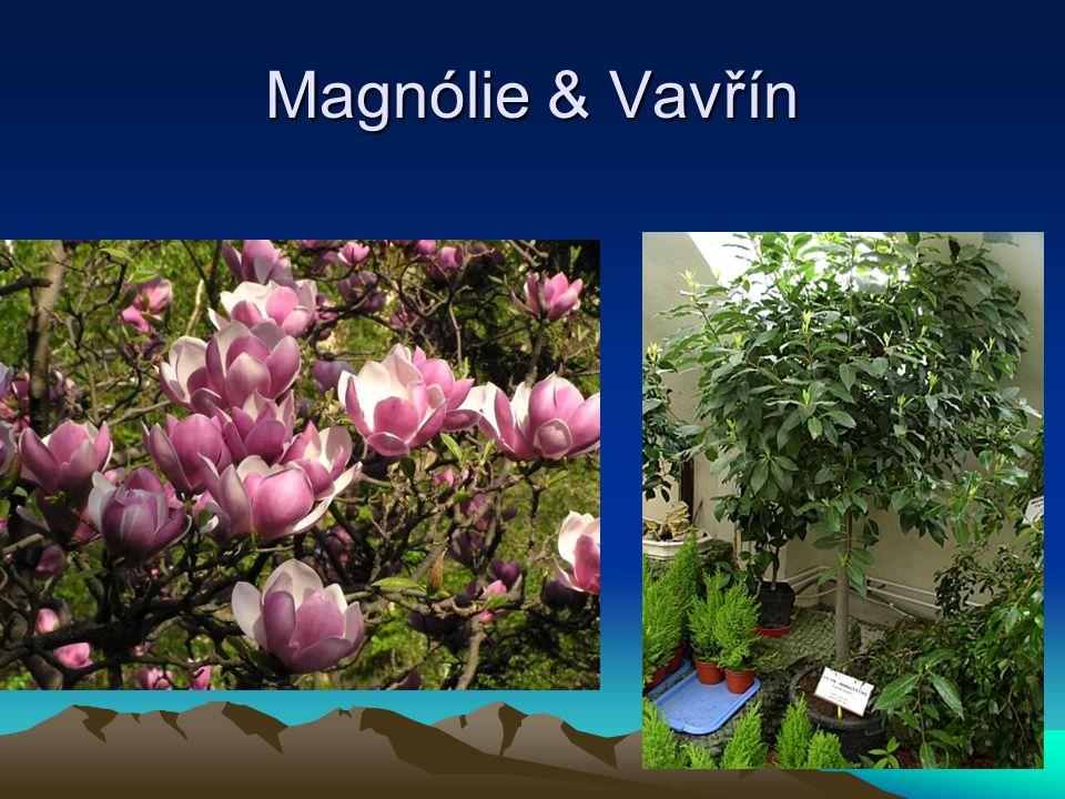 Magnólie & Vavřín