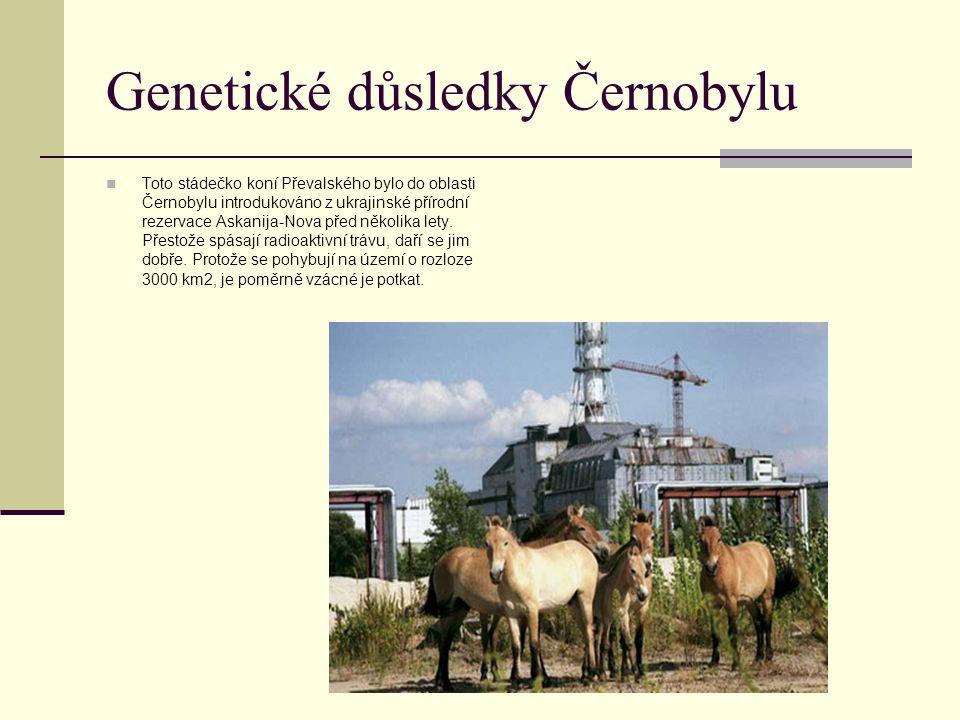 Genetické důsledky Černobylu Toto stádečko koní Převalského bylo do oblasti Černobylu introdukováno z ukrajinské přírodní rezervace Askanija-Nova před