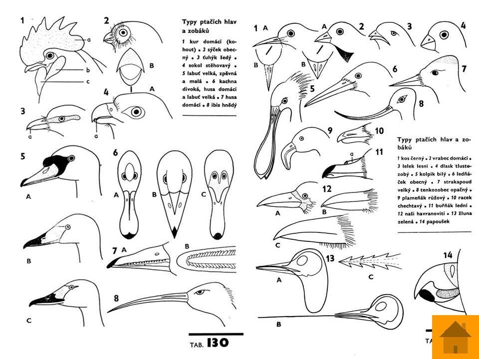Svalstvo létací svaly jsou umístěny na trupu – velký prsní sval /20% hmotnosti těla/ a podklíčkový sval létací svaly jsou umístěny na trupu – velký prsní sval /20% hmotnosti těla/ a podklíčkový sval stromoví ptáci mají automatický mechanismus na noze stromoví ptáci mají automatický mechanismus na noze silný rozvoj na končetinách silný rozvoj na končetinách