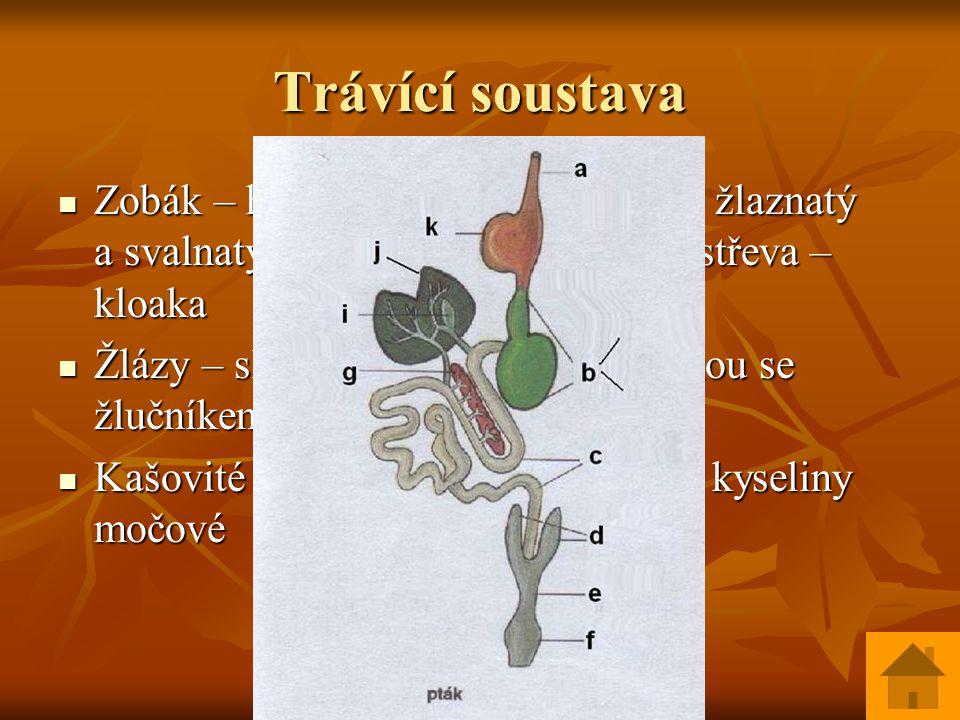 Trávící soustava Zobák – hltan – jícen /někdy vole/ - žlaznatý a svalnatý žaludek – střevo – slepá střeva – kloaka Zobák – hltan – jícen /někdy vole/ - žlaznatý a svalnatý žaludek – střevo – slepá střeva – kloaka Žlázy – slinivka břišní a játra většinou se žlučníkem ústí do střev Žlázy – slinivka břišní a játra většinou se žlučníkem ústí do střev Kašovité výtrusy s bílým povlakem kyseliny močové Kašovité výtrusy s bílým povlakem kyseliny močové