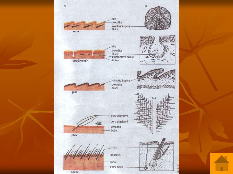 Kostra  pneumatizace kostí  čelisti protaženy v zobák  krčních obratlů různý počet  3-10 hrudních obratlů – - žebra a loďkovitá prsní kost tvoří hrudní koš  6 bederních, křížová kost /z 14 obratlů/, 6 ocasních obr.