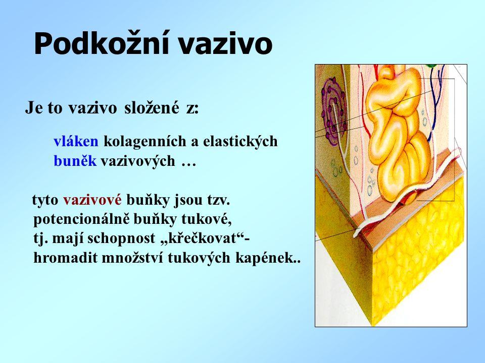 Podkožní vazivo Je to vazivo složené z: vláken kolagenních a elastických buněk vazivových … tyto vazivové buňky jsou tzv. potencionálně buňky tukové,
