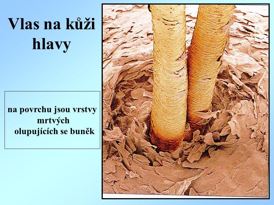 Škára - dermis -je vazivová vrstva kůže složená z: - buněk (vazivových a tukových) - vláken (elastických) Ve škáře jsou: 1.cévy (tepny, žíly, mízní cévy) 2.nervy (receptory pro bolest, teplo-chlad, hmat) 3.mazové žlázy 4.potní žlázy 5.adnexa kožní – vlasy, chlupy, nehty
