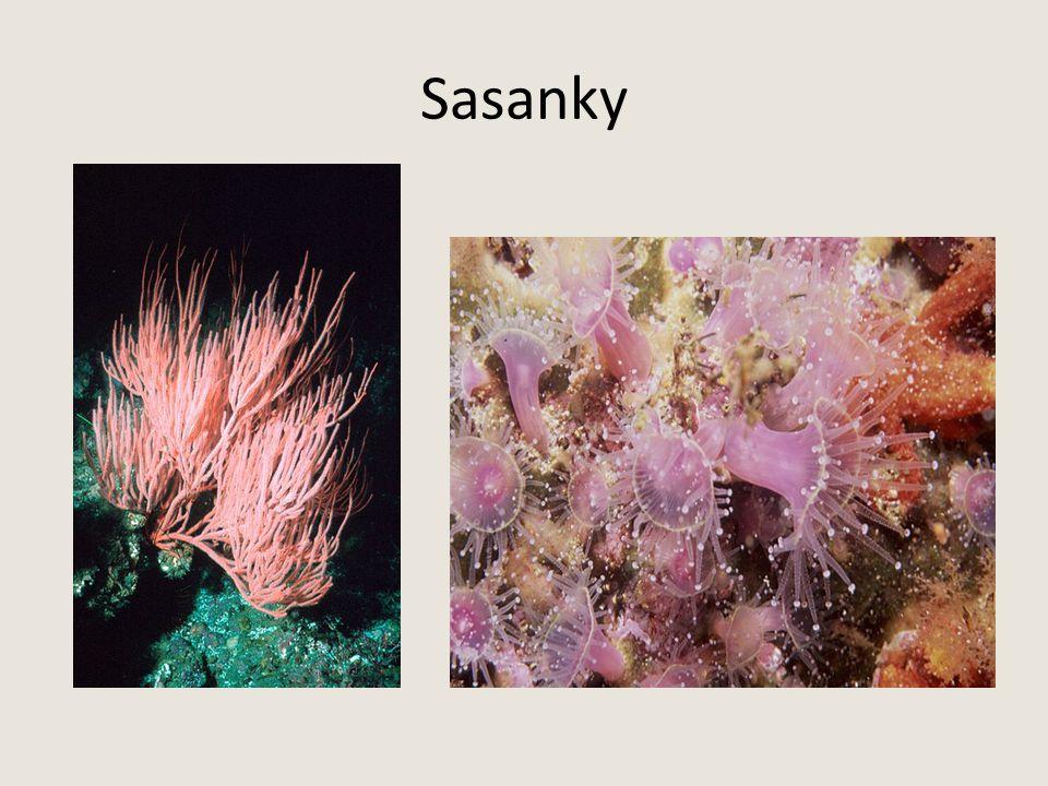 Sasanky