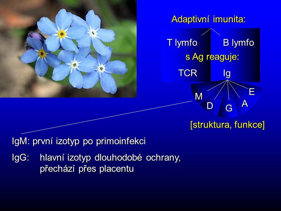 Adaptivní imunita: B lymfo T lymfo s Ag reaguje: IgTCR IgM: první izotyp po primoinfekci M D G A E [struktura, funkce] IgG: hlavní izotyp dlouhodobé ochrany, přechází přes placentu