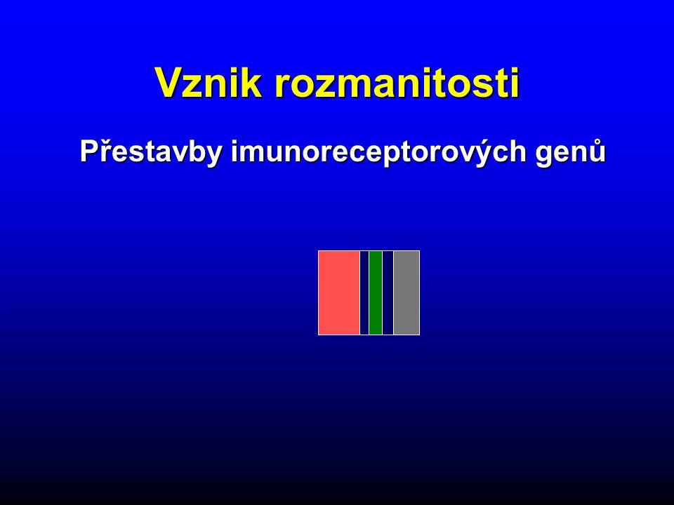 Vznik rozmanitosti VDJVDJ Přestavby imunoreceptorových genů