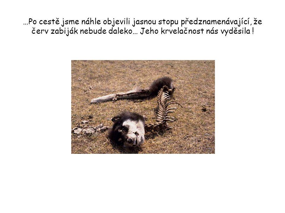 …Po cestě jsme náhle objevili jasnou stopu předznamenávající, že červ zabiják nebude daleko… Jeho krvelačnost nás vyděsila !