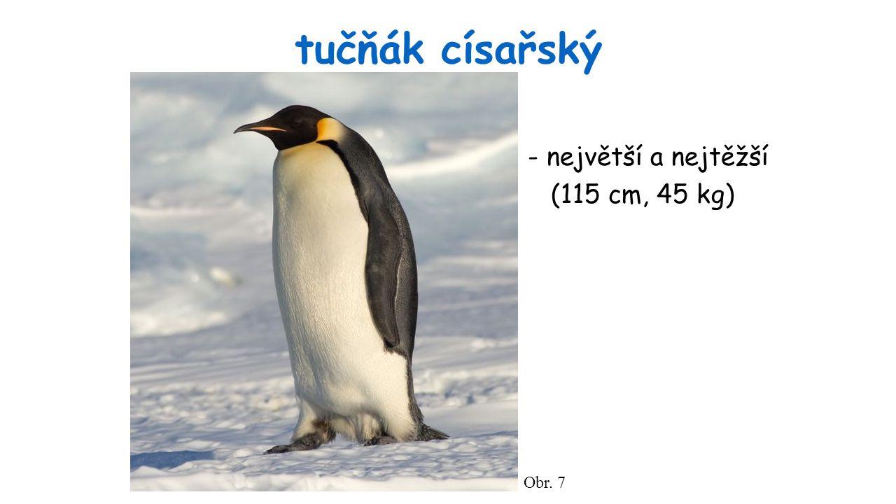 tučňák císařský Obr. 7 - největší a nejtěžší (115 cm, 45 kg)