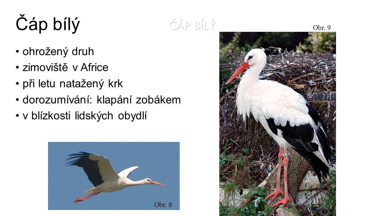ČÁP BÍLÝ ohrožený druh zimoviště v Africe při letu natažený krk dorozumívání: klapání zobákem v blízkosti lidských obydlí Obr.