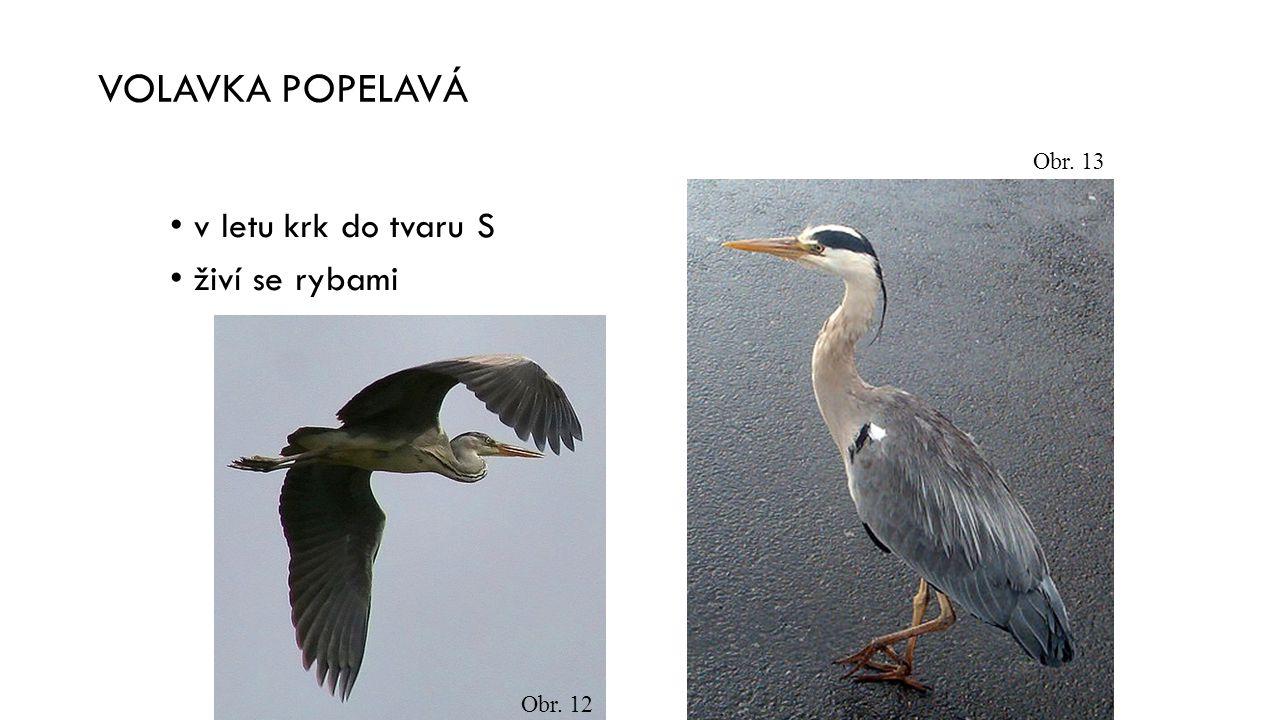 VOLAVKA POPELAVÁ v letu krk do tvaru S živí se rybami Obr. 13 Obr. 12