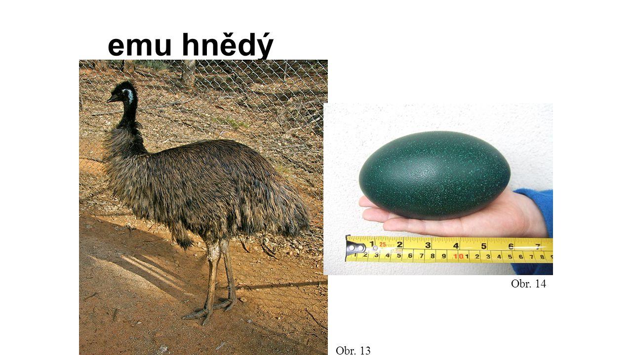 emu hnědý Obr. 13 Obr. 14