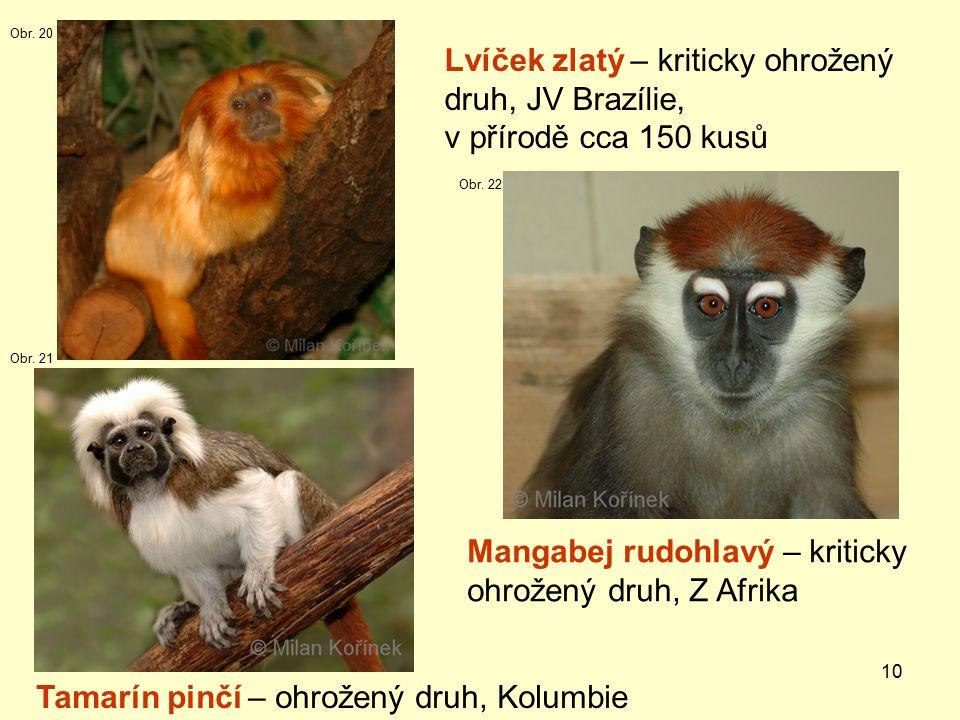 10 Lvíček zlatý – kriticky ohrožený druh, JV Brazílie, v přírodě cca 150 kusů Mangabej rudohlavý – kriticky ohrožený druh, Z Afrika Tamarín pinčí – ohrožený druh, Kolumbie Obr.