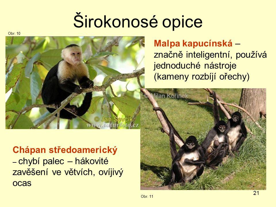 21 Širokonosé opice Malpa kapucínská – značně inteligentní, používá jednoduché nástroje (kameny rozbíjí ořechy) Chápan středoamerický – chybí palec – hákovité zavěšení ve větvích, ovíjivý ocas Obr.
