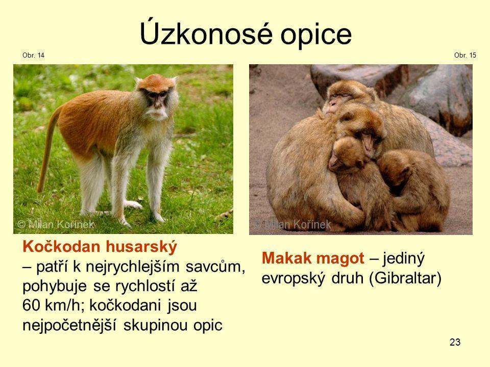 23 Úzkonosé opice Kočkodan husarský – patří k nejrychlejším savcům, pohybuje se rychlostí až 60 km/h; kočkodani jsou nejpočetnější skupinou opic Makak magot – jediný evropský druh (Gibraltar) Obr.