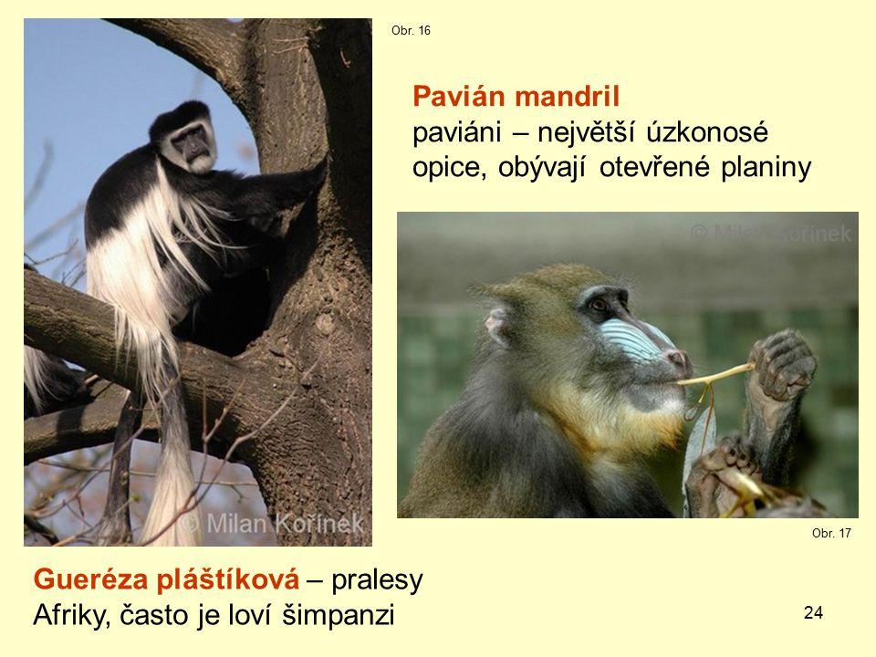 24 Pavián mandril paviáni – největší úzkonosé opice, obývají otevřené planiny Gueréza pláštíková – pralesy Afriky, často je loví šimpanzi Obr.