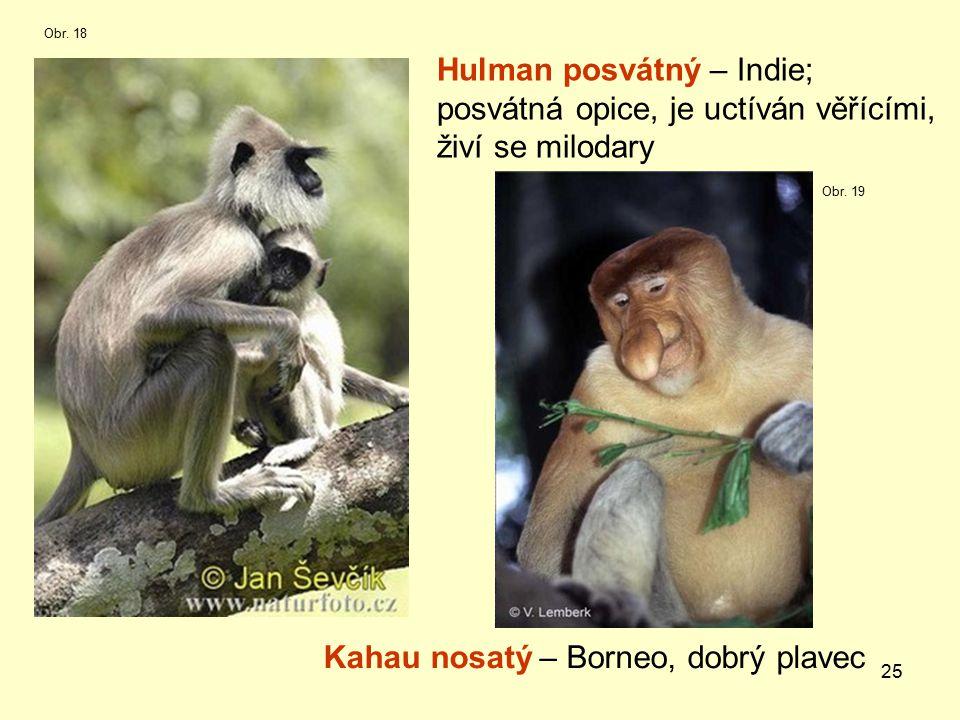25 Hulman posvátný – Indie; posvátná opice, je uctíván věřícími, živí se milodary Kahau nosatý – Borneo, dobrý plavec Obr.