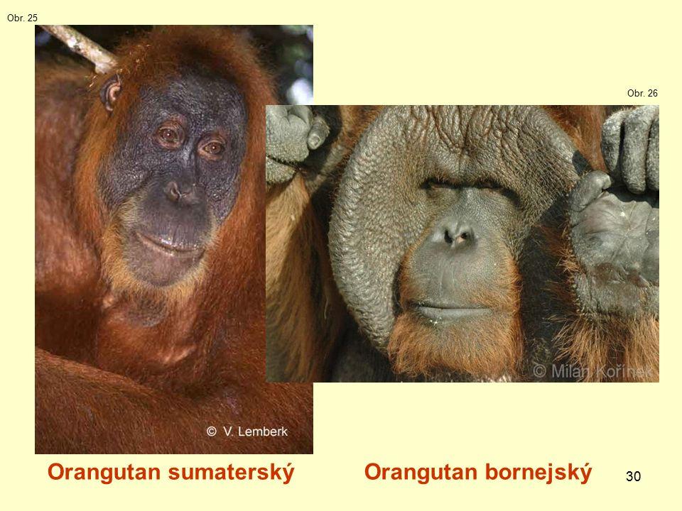 30 Orangutan sumaterskýOrangutan bornejský Obr. 25 Obr. 26
