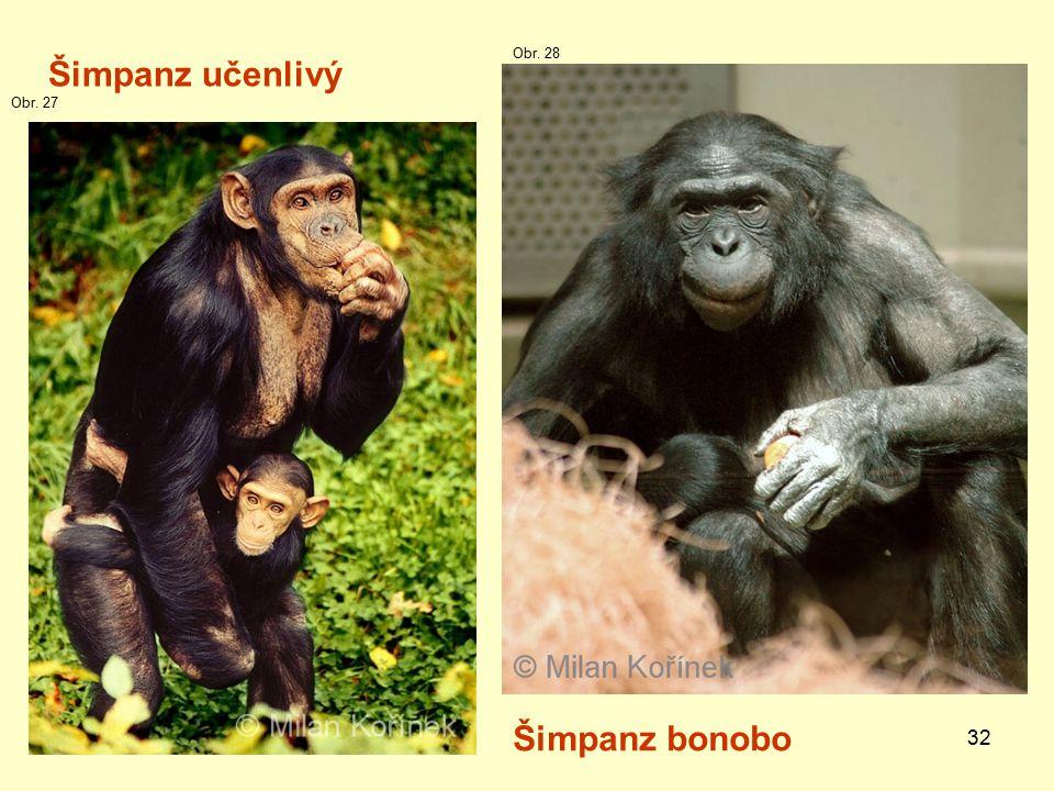 32 Šimpanz učenlivý Šimpanz bonobo Obr. 27 Obr. 28
