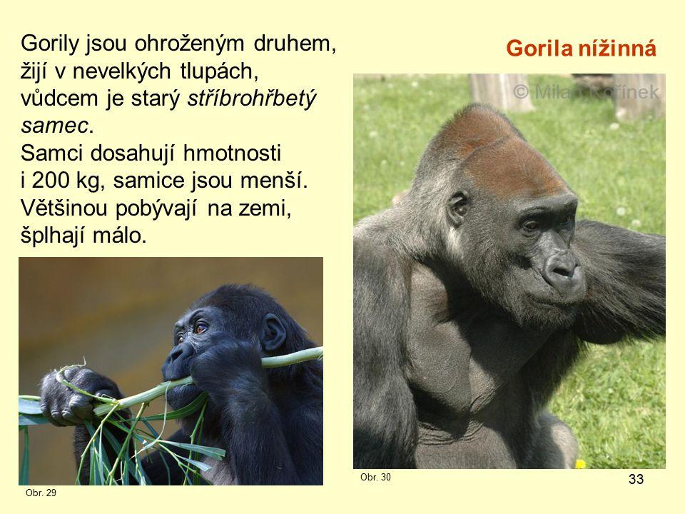33 Gorily jsou ohroženým druhem, žijí v nevelkých tlupách, vůdcem je starý stříbrohřbetý samec.