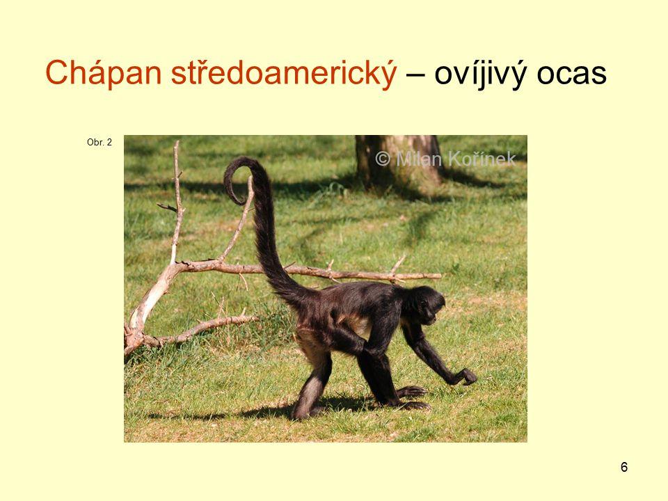 17 Sifaka – Madagaskar, nejrozšířenější, největší z poloopic, pohyb snožnými skoky s trupem do směru skoku; živí se plody Ksukol – nejspecializovanější primát, silná redukce chrupu, hmyzožravý, drátovitý prst k vybírání larev z kmenů stromů, Madagaskar Obr.