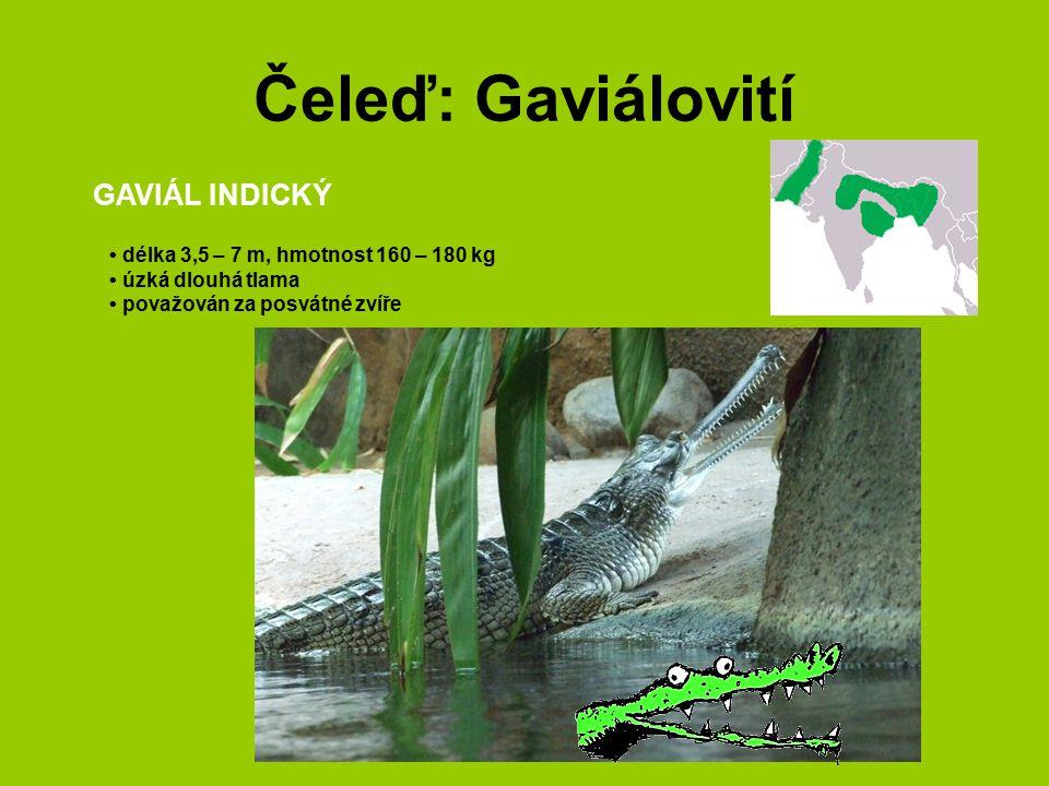 Čeleď: Gaviálovití GAVIÁL INDICKÝ délka 3,5 – 7 m, hmotnost 160 – 180 kg úzká dlouhá tlama považován za posvátné zvíře