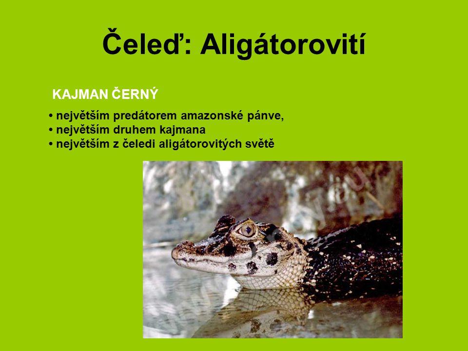 Čeleď: Aligátorovití největším predátorem amazonské pánve, největším druhem kajmana největším z čeledi aligátorovitých světě KAJMAN ČERNÝ
