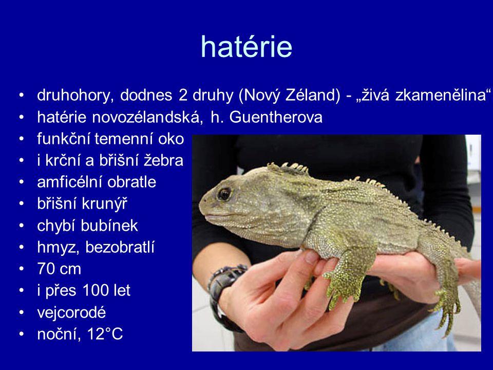 """hatérie druhohory, dodnes 2 druhy (Nový Zéland) - """"živá zkamenělina hatérie novozélandská, h."""