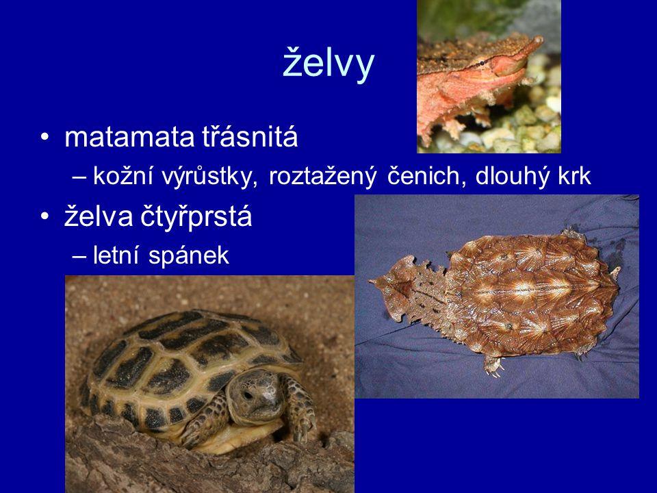 želvy matamata třásnitá –kožní výrůstky, roztažený čenich, dlouhý krk želva čtyřprstá –letní spánek