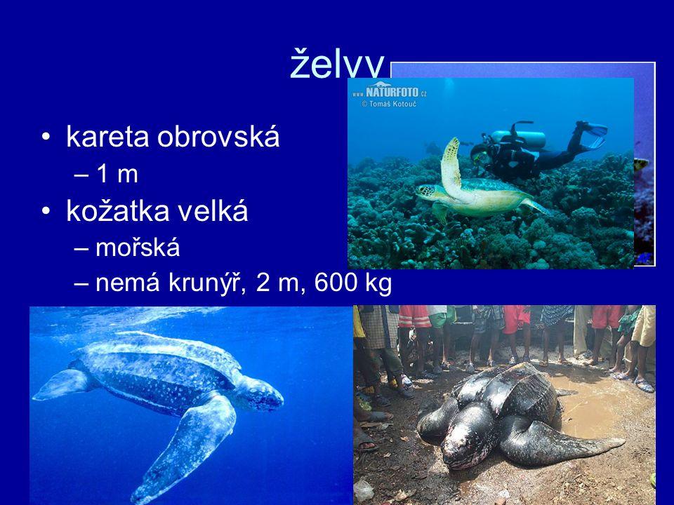 želvy kareta obrovská –1 m kožatka velká –mořská –nemá krunýř, 2 m, 600 kg