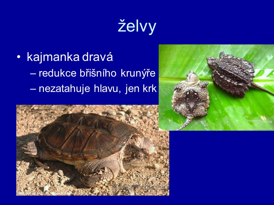 želvy kajmanka dravá –redukce břišního krunýře –nezatahuje hlavu, jen krk