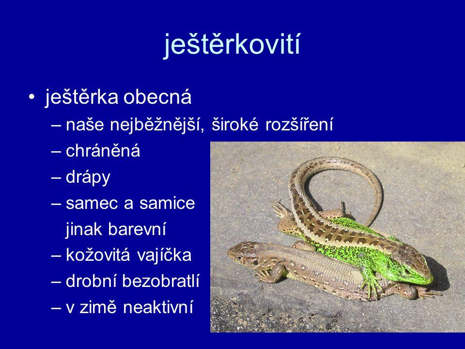 ještěrkovití ještěrka obecná –naše nejběžnější, široké rozšíření –chráněná –drápy –samec a samice jinak barevní –kožovitá vajíčka –drobní bezobratlí –v zimě neaktivní